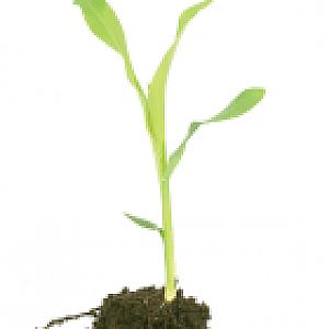 Corn Hybrid Seeds